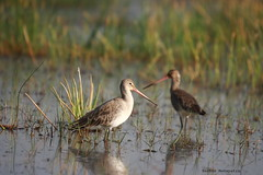 wetland, animal, fauna, redshank, sandpiper, snipe, beak, bird, wildlife,