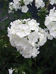 PHLOX paniculata var. alba