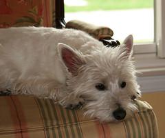 dog breed, animal, dog, pet, glen of imaal terrier, mammal, cairn terrier, australian terrier, west highland white terrier, terrier,