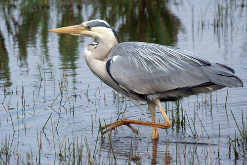 Heron, Leighton Moss RSPB, May 2009