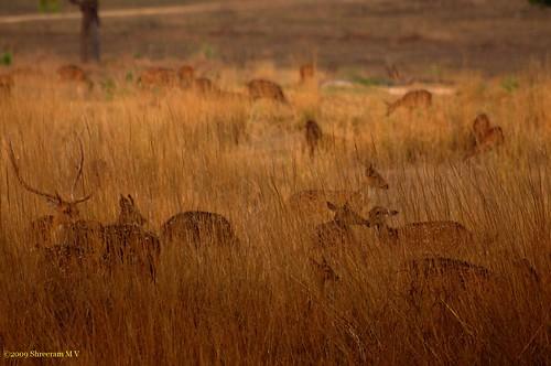 india nature sunrise dawn nationalpark meadows soe madhyapradesh chital kanha spotteddeer axisaxis abigfave aplusphoto flickraward theunforgettablepictures flickrlovers artofimages platinumbestshot bestcapturesaoi