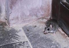 animal, rat, rodent, pet, mouse, fauna, muroidea, pest,