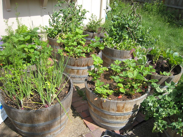 Wine barrel planter container garden flickr photo sharing for Patio herb garden designs containers