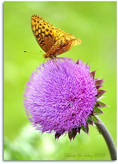 The Great Spangled Fritillary on top of a JUMBO Thistle Flower!
