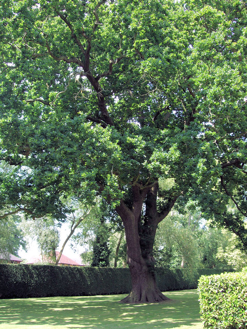 English Oak (Quercus robur), Elgood´s Brewery Garden, Wisbech.