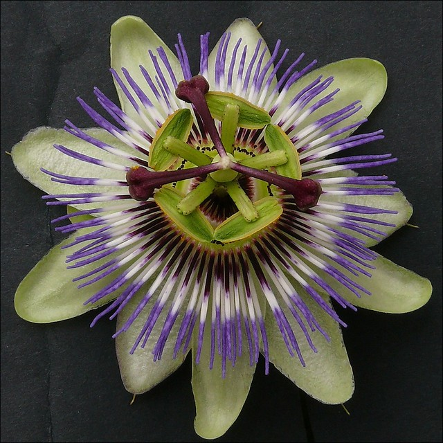 passiflora caerulea passionsblume passion flower. Black Bedroom Furniture Sets. Home Design Ideas