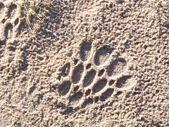 Mysterious and Strange Footprint: Bigfoot?