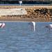 025 Flamingos