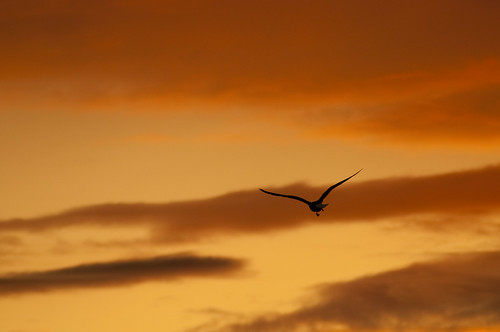 sunset sky orange bird scotland twilight seagull whitesands journal flight photoaday 365 dumfries gloaming improve project365 365project