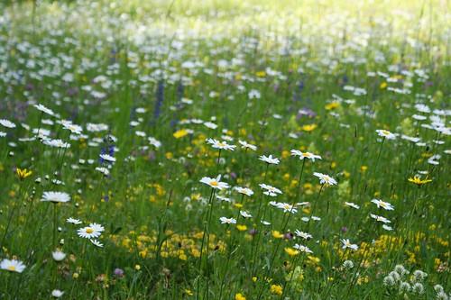 Blumenwiese am Morgen