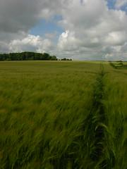 Wheatfield in June