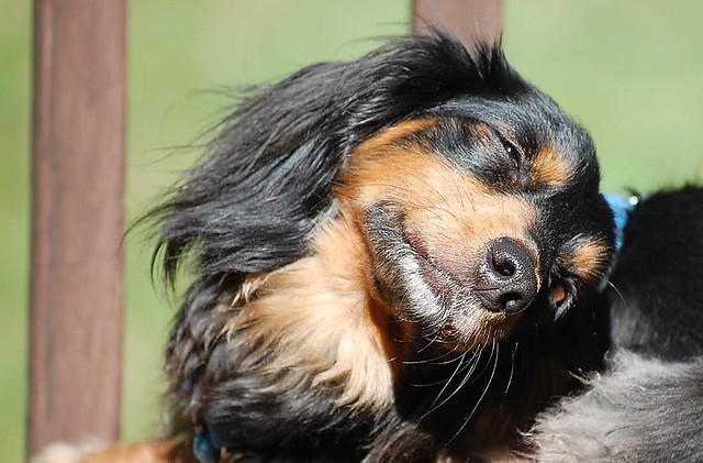 Happy Singing Funny Puppy Mini Long Haired Dachshund