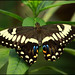 Butterfly - papilio sp by Dave-F