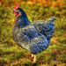 Blue Orpington Hen