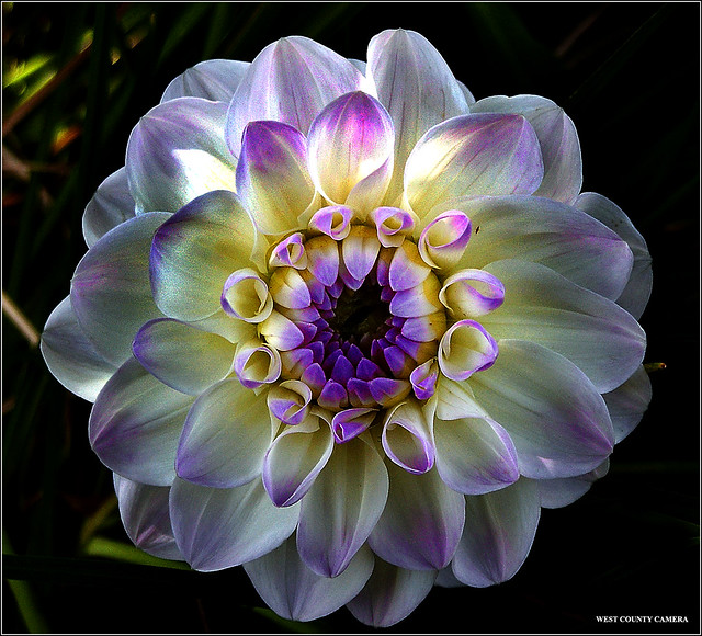 Purple Tipped Dahlia