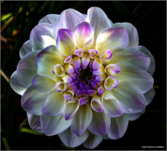 Purple Tipped Dahlia