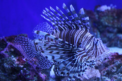 coral reef, animal, coral, fish, coral reef fish, organism, marine biology, stony coral, aquarium lighting, lionfish, scorpionfish, underwater,