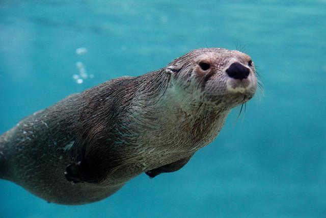 Missour River Otter Un...