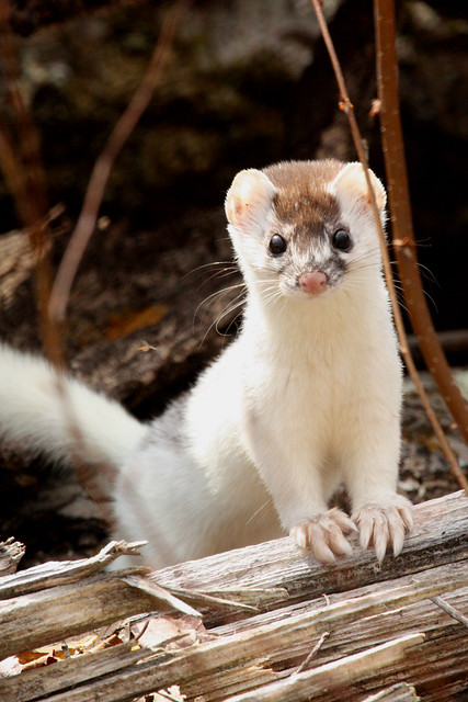 Baby short tailed weasel - photo#17