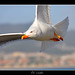 Volando by robalfer