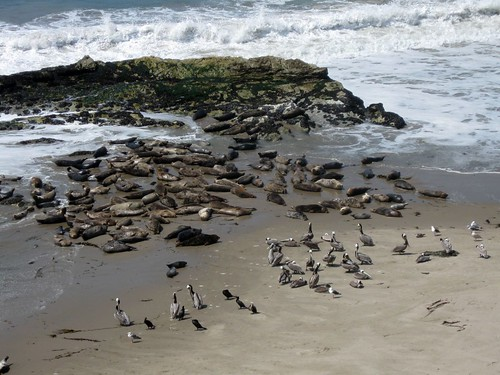 harbor seal rookery