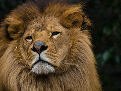 roar(0.0), savanna(0.0), animal(1.0), mane(1.0), big cats(1.0), masai lion(1.0), lion(1.0), snout(1.0), mammal(1.0), fauna(1.0), close-up(1.0), whiskers(1.0), wildlife(1.0),