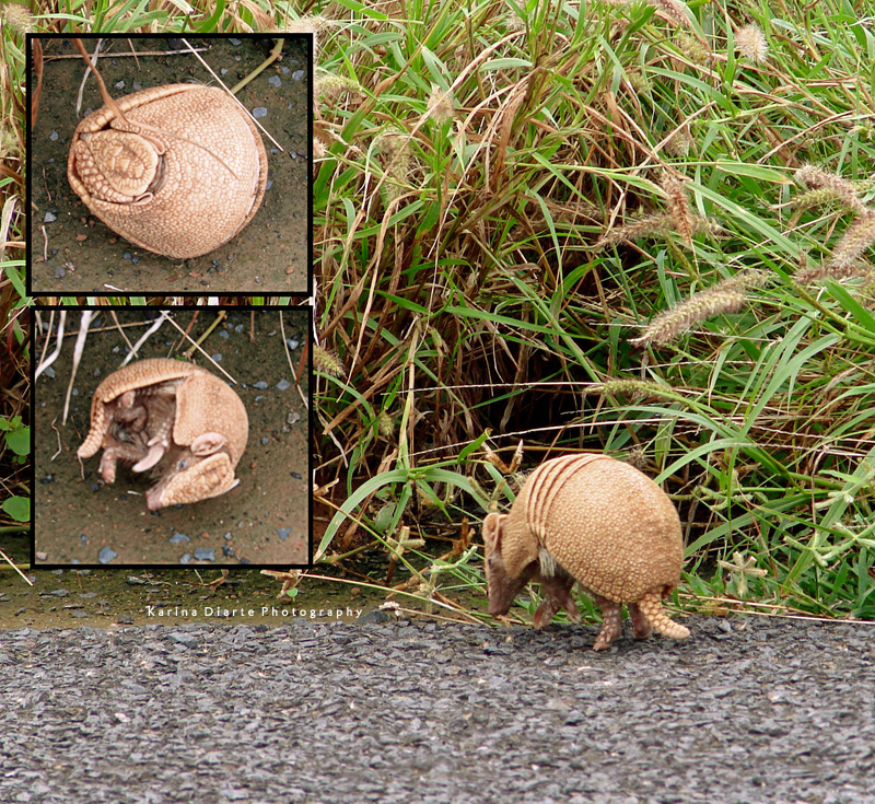 Armadillo / Three-banded Armadillo