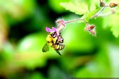 bee in our neighborhood    MG 5624