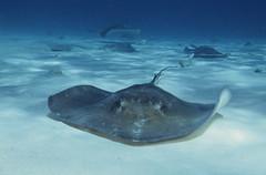 requiem shark(0.0), tiger shark(0.0), animal(1.0), manta ray(1.0), fish(1.0), marine biology(1.0), skate(1.0), cartilaginous fish(1.0),
