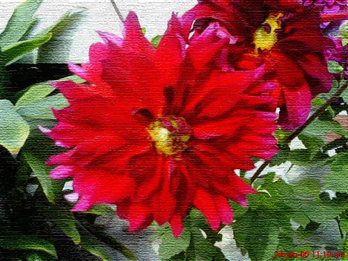 flower ps 12,........Dahlia -