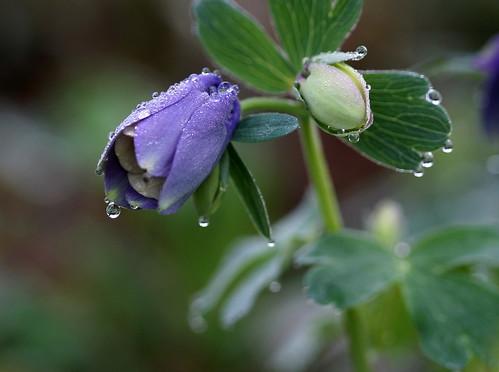 korea droplet columbine bud raindrop appletree appletrees daejeon mywinners abigfave applelike platinumphoto overtheexcellence