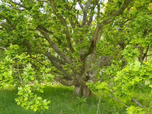 Stunted oak
