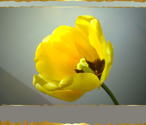 Yellow Tulip . . .