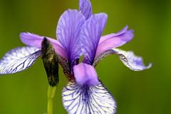 iris, flower, iris versicolor, purple, plant, nature, macro photography, wildflower, flora, close-up, plant stem, petal,