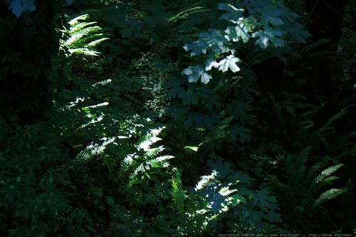 afternoon sunlight on the ferns in our backyard    MG 4708