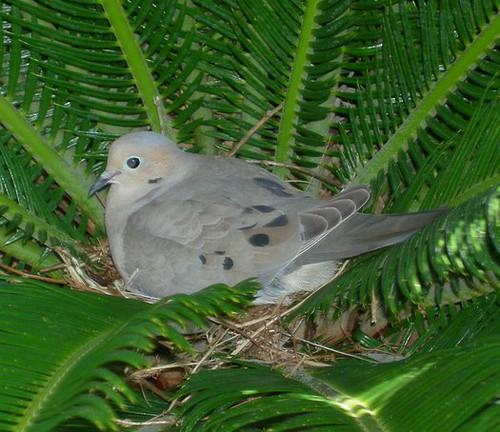 Mourning Dove Nest Mourning dove nesting ...