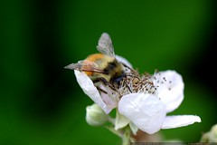 bee on a blackberry blossom    MG 5558