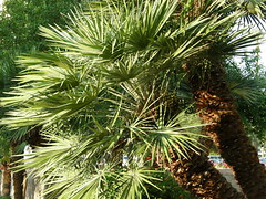 date palm, arecales, evergreen, borassus flabellifer, tree, saw palmetto,