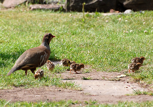 Partridges In The Garden