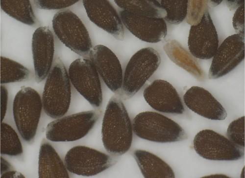 Actinobole uliginosum seeds