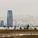 Ominous large flock of geese near Liberty State Park