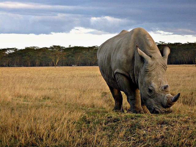 rinoceronte en el Parque Nacional del Lago Nakuru