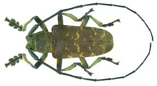 Titoceres jaspideus (Serville, 1835)