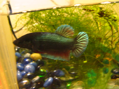 Freshwater Frenzy King Betta Variety Sold at Petco