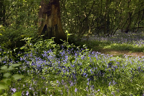 Bluebells in a wooded glade