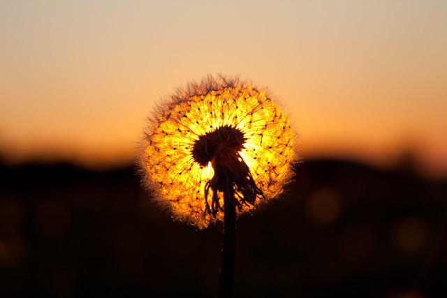 dandelion sunset related keywords - photo #27