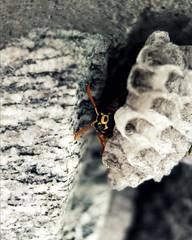 Yellow Jackets Nesting _edit