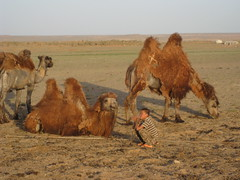 Camels at home