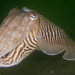 European Common Cuttlefish - Photo (c) Eric Burgers, some rights reserved (CC BY-NC-SA)