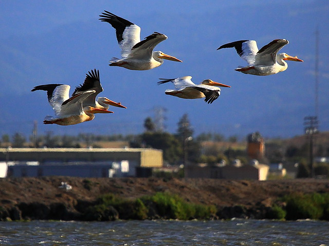 IMG_4462 American White Pelican, Don Edwards San Francisco Bay NWR